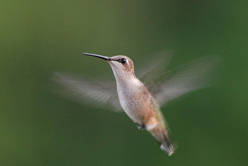 How to Photograph Hummingbirds