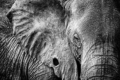 Black and white highlights the texture in this elephants skin